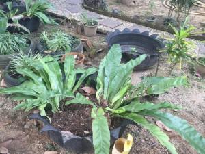 Däckplantering i Banta Khun